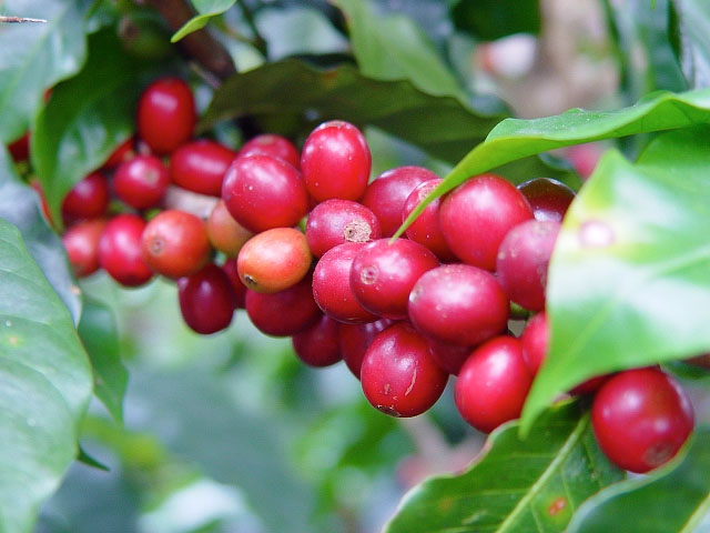 Coffee Beans Start Out Cherries Click To Enlarge