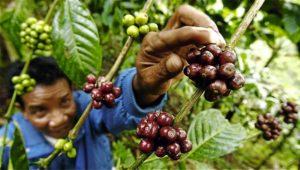 toomers_coffee_roasters_sulawesi_toraja_celebes